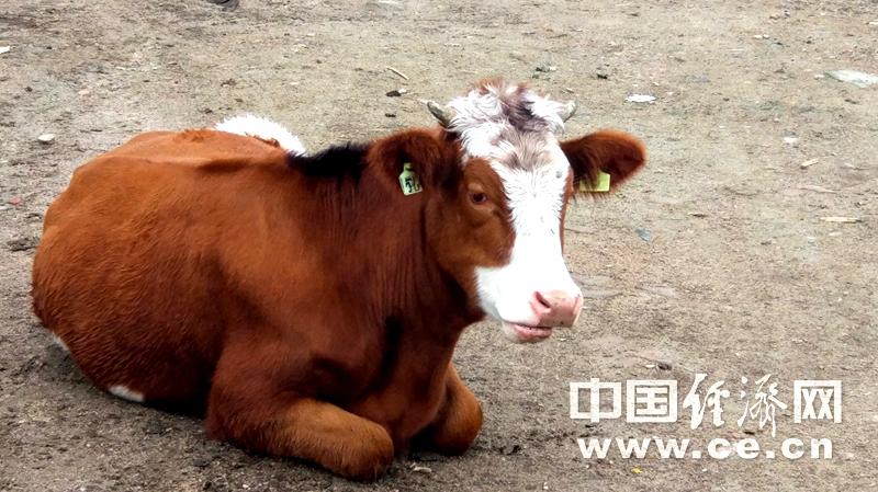 吃了那么多年牛肉 你了解什么是谷饲和草饲么?